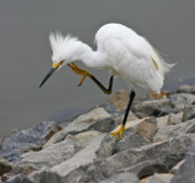 Snowy Egret Framed Prints - Snowy Egret Framed Print by Arthur Bohlmann
