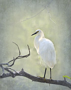 Snowy Egret Framed Prints - Snowy Egret Framed Print by Betty LaRue