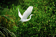 Mid Air Prints - Snowy Egret Bird Print by Shahnewaz Karim