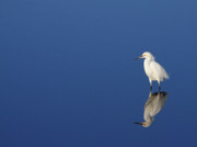 Egret Photo Prints - Snowy Egret Blues II Print by Bruce J Robinson