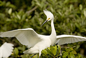 Mangrove Trees Photos - Snowy Egret Egretta Thula Portrait by Tim Laman