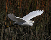 Phil Lanoue Acrylic Prints - Snowy Egret Flight Acrylic Print by Phil Lanoue