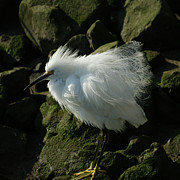 Egrets Prints - Snowy Egret Fluffy Print by Ernie Echols
