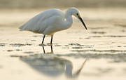 Natural Bridges Framed Prints - Snowy Egret Foraging Natural Bridges Framed Print by Sebastian Kennerknecht