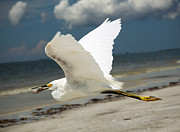 Fort Myers Beach Prints - Snowy Egret in Flight Print by Vicki Jauron