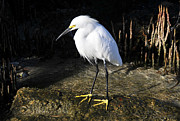 Egretta Thula Photos - Snowy Egret in Mangroves by David Lee Thompson
