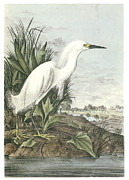 Egret Paintings - Snowy Egret by John James Audubon