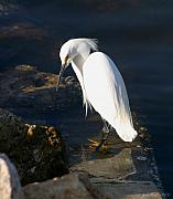 Shore Bird Originals - Snowy Egret by Joseph G Holland