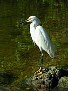 Great Egret Framed Prints - Snowy Egret Framed Print by Juergen Roth
