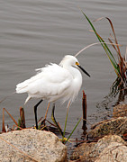 Kay Lovingood Art - Snowy Egret by Kay Lovingood