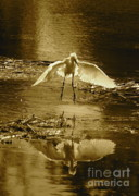 Snowy Egret Framed Prints - Snowy Egret Landing with Golden Tones Framed Print by Carol Groenen