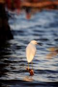 Eustis Prints - Snowy Egret Print by Matt Suess