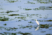 Egret Painting Originals - Snowy Egret by Mike Robles