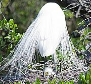 Egret Originals - Snowy Egret Mom and Chick by Kenneth Albin