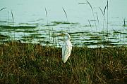 Snowy Digital Art - Snowy Egret on Bodega Bay by Alberta Brown Buller