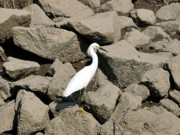 Fiddler Prints - Snowy Egret on the Rocks Print by Al Powell Photography USA