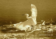 Lovely Pond Posters - Snowy Egret over Golden Pond Poster by Carol Groenen