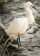 Egrets Prints - Snowy Egret Print by Phill  Doherty
