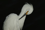 White Birds Photos - Snowy Egret Preening  by Ernie Echols