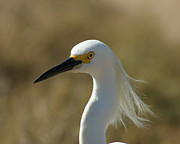Ocean Birds Prints - Snowy Egret Profile 1 Print by Ernie Echols