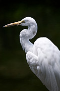 Snowy Egret Framed Prints - Snowy Egret Profile Framed Print by Chris Brewington 