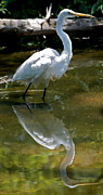 Snowy Egret Framed Prints - Snowy Egret Reflection Framed Print by Chris Brewington 