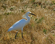 Snowy Egret Framed Prints - Snowy Egret Searching Framed Print by Ernie Echols