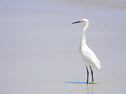 Snowy Egret Originals - Snowy Egret Shadow by Warren Thompson