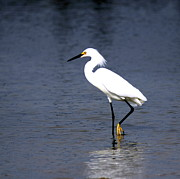 Travis Truelove Photography Prints - Snowy Egret - Snowman Print by Travis Truelove