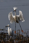 Shorebird Photos - Snowy Egret . They Call Me Happy Feet Too . 7D12044 by Wingsdomain Art and Photography