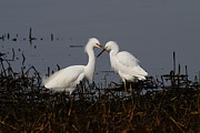 Shorebird Photos - Snowy Egret . This Swan Heart Shape Thing Is Not As Easy As It Looks . 7D12062 by Wingsdomain Art and Photography