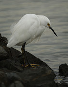Snowy Egret Framed Prints - Snowy Egret Waiting Framed Print by Ernie Echols