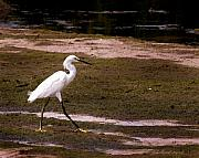 Snowy Egret Framed Prints - Snowy Egret Watercolor Framed Print by Joseph G Holland