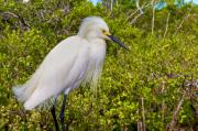 Snowy Egret Framed Prints - Snowy Egret Framed Print by William Wetmore