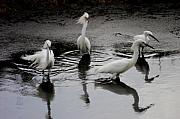 Snowy Egret Photos - Snowy Egrets I by Jane Melgaard