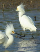 Waterfowl Framed Prints - Snowy Egrets Framed Print by Robert Frederick