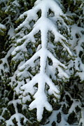 Fir Trees Photos - Snowy fir tree by Sami Sarkis