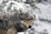 Wet Framed Prints - Snowy Grey Wolf Framed Print by Photo By Daryl L. Hunter - The Hole Picture
