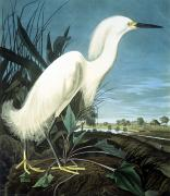 Biology Art - Snowy Heron by Granger