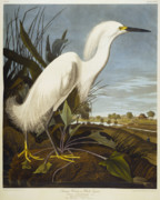 Bird Drawings Posters - Snowy Heron Poster by John James Audubon