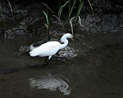 Snowy Egret Photos - Snowy in the Mud by Al Powell Photography USA
