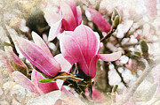 Pink Blossoms Mixed Media Posters - Snowy Magnoila Mist  Poster by Andee Photography