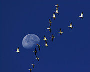Snow Goose Prints - Snowy Moon Print by Tony Beck