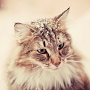 One Animal Posters - Snowy Norwegian Forest Cat Poster by Emely Nilsson