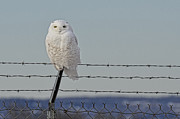 Douglas County Wisconsin Acrylic Prints - Snowy Owl 1 Acrylic Print by Whispering Feather Gallery
