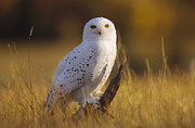 Strigidae Prints - Snowy Owl Adult Amid Dry Grass Print by Tim Fitzharris