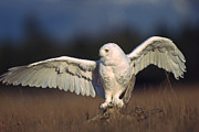 Stretching Wings Posters - Snowy Owl Adult Balancing On A Stump Poster by Tim Fitzharris