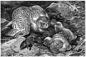 Caring Mother Posters - Snowy Owl And Chicks, 19th Century Poster by