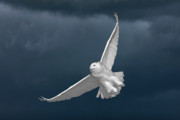 Snowy Digital Art - Snowy Owl and the Storm by Mark Duffy