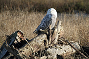 Rare Bird Of Canada Art - Snowy Owl at Boundary bay B.C by Pierre Leclerc
